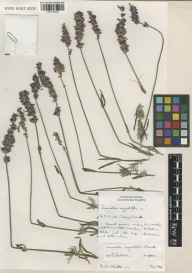 Lavandula angustifolia herbarium specimen from Kew Gardens, VC17 Surrey in 1997 by D. Christie.