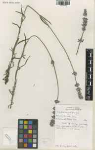 Lavandula angustifolia herbarium specimen from Saint Brelade, Jersey, VC113 Channel Islands in 1992 by Brian D Schrire.
