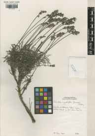 Lavandula angustifolia herbarium specimen from Glasnevin, VCH21 Co. Dublin in 1997.