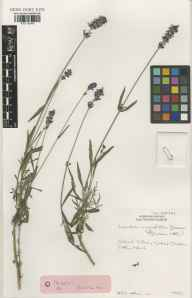 Lavandula angustifolia herbarium specimen from Glasnevin, VCH21 Co. Dublin in 1990 by Ernest Charles Nelson.