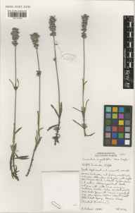 Lavandula angustifolia herbarium specimen from Norfolk Lavender, Heacham, VC28 West Norfolk in 2002 by Susyn Andrews.