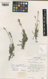 Lavandula angustifolia herbarium specimen from Wisley, VC17 Surrey in 1998 by Susyn Andrews.