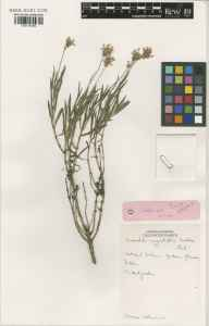 Lavandula angustifolia herbarium specimen from Glasnevin, VCH21 Co. Dublin by Charles Nelson.