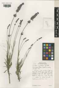 Lavandula angustifolia herbarium specimen from The Scented Garden, VC9 Dorset in 2001 by Susyn Andrews.