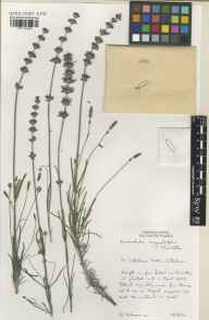 Lavandula angustifolia herbarium specimen from Caterham, VC17 Surrey in 2004 by Susyn Andrews.