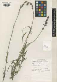 Lavandula angustifolia herbarium specimen from Saint Brelade, Jersey, VC113 Channel Islands in 1992 by Susyn Andrews.