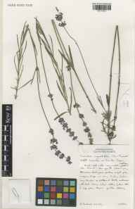 Lavandula angustifolia herbarium specimen from Norfolk Lavender, Heacham, VC28 West Norfolk in 2001 by Susyn Andrews.