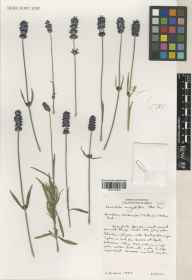 Lavandula angustifolia herbarium specimen from Downderry Nursery, Hadlow, VC16 West Kent in 2002 by Susyn Andrews.