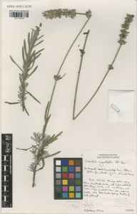 Lavandula angustifolia herbarium specimen from Cambridge Botanic Gardens, VC29 Cambridgeshire in 2000 by Susyn Andrews.