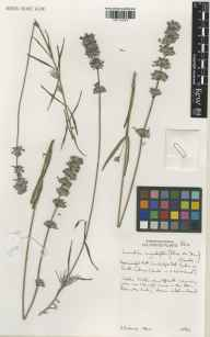 Lavandula angustifolia herbarium specimen from Cambridge Botanic Gardens, VC29 Cambridgeshire in 2001 by Susyn Andrews.