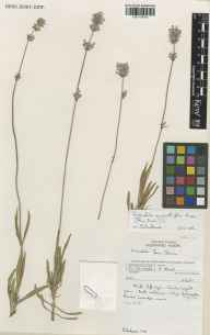 Lavandula angustifolia herbarium specimen from Wakehurst Place, VC14 East Sussex in 1991 by Susyn Andrews.