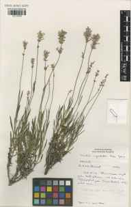 Lavandula angustifolia herbarium specimen from Edinburgh Royal Botanic Gardens, VC83 Midlothian in 1992 by Susyn Andrews.