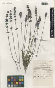 Lavandula angustifolia herbarium specimen from Kew Gardens, VC17 Surrey in 2000 by Susyn Andrews.
