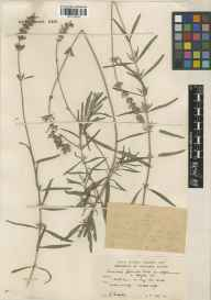Lavandula angustifolia herbarium specimen from Kew Gardens, VC17 Surrey in 1937 by Ronald Melville.