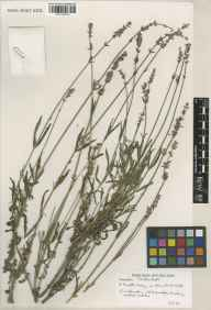 Lavandula angustifolia herbarium specimen from King's Lynn, VC28 West Norfolk in 1991.
