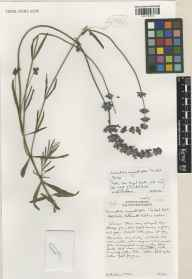 Lavandula angustifolia herbarium specimen from Wisley, VC17 Surrey in 2001 by Susyn Andrews.