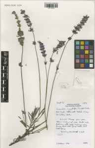 Lavandula angustifolia herbarium specimen from Wisley, VC17 Surrey in 2000 by Susyn Andrews.