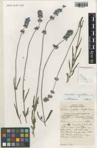 Lavandula angustifolia herbarium specimen from Kew Gardens, VC17 Surrey in 2001 by Susyn Andrews.