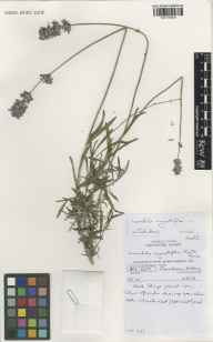 Lavandula angustifolia herbarium specimen from Kew Gardens, VC17 Surrey in 1998 by Susyn Andrews.