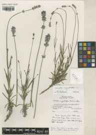 Lavandula angustifolia herbarium specimen from Wakehurst Place, VC14 East Sussex in 1991.