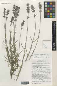 Lavandula angustifolia herbarium specimen from Wakehurst Place, VC14 East Sussex in 2001 by Susyn Andrews.