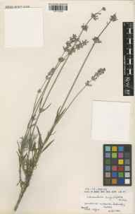 Lavandula angustifolia herbarium specimen from Ardingly, VC14 East Sussex in 1984.