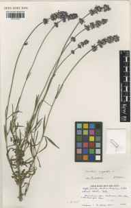 Lavandula angustifolia herbarium specimen from Norfolk Lavender, Heacham, VC28 West Norfolk in 1991 by Brian D Schrire.