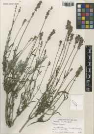 Lavandula angustifolia herbarium specimen from Norfolk Lavender, Heacham, VC28 West Norfolk in 1991.