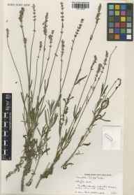 Lavandula angustifolia herbarium specimen from Hollington Herbs in 1991.