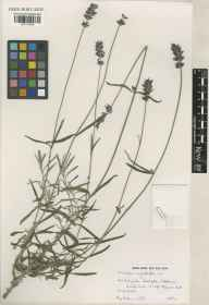 Lavandula angustifolia herbarium specimen from Teddington, VC21 Middlesex in 1991 by Raymond Mervyn Harley.