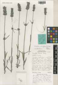 Lavandula chaytoriae herbarium specimen from Norfolk Lavender, Heacham, VC28 West Norfolk in 2002 by Susyn Andrews.