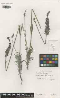Lavandula chaytoriae herbarium specimen from Ullapool, VC105 West Ross & Cromarty in 2002 by Anthony D Schilling.