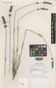 Lavandula angustifolia x latifolia = L. x intermedia herbarium specimen from Wakehurst Place, VC14 East Sussex in 1991 by Susyn Andrews.