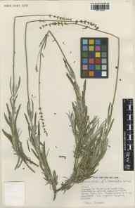 Lavandula angustifolia x latifolia = L. x intermedia herbarium specimen from Epping, VC18 South Essex by John James.