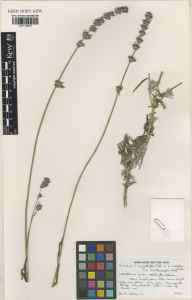 Lavandula angustifolia x latifolia = L. x intermedia herbarium specimen from Teddington, VC21 Middlesex in 1990 by Raymond Mervyn Harley.