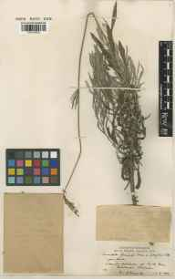 Lavandula angustifolia x latifolia = L. x intermedia herbarium specimen from Berechurch, VC19 North Essex in 1937 by H Deane.