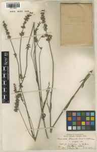 Lavandula angustifolia x latifolia = L. x intermedia herbarium specimen from Hitchin, VC20 Hertfordshire in 1937 by H Deane.