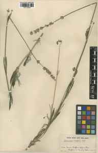 Lavandula angustifolia x latifolia = L. x intermedia herbarium specimen from Long Melford, VC26 West Suffolk in 1934.