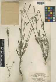 Lavandula angustifolia x latifolia = L. x intermedia herbarium specimen from Long Melford, VC26 West Suffolk in 1937 by H Deane.