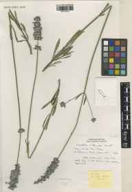 Lavandula angustifolia x latifolia = L. x intermedia herbarium specimen from Saint Brelade, Jersey, VC113 Channel Islands in 1992 by Brian D Schrire.