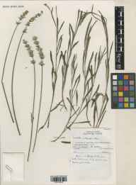 Lavandula angustifolia x latifolia = L. x intermedia herbarium specimen from Wakehurst Place, VC14 East Sussex in 1991.