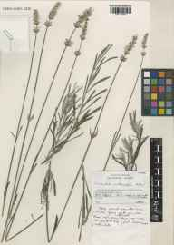 Lavandula angustifolia x latifolia = L. x intermedia herbarium specimen from Wakehurst Place, VC14 East Sussex in 2000 by Susyn Andrews.