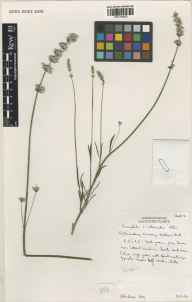 Lavandula angustifolia x latifolia = L. x intermedia herbarium specimen from Downderry Nursery, Hadlow, VC16 West Kent in 2000 by Susyn Andrews.