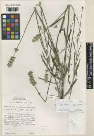 Lavandula angustifolia x latifolia = L. x intermedia herbarium specimen from Cambridge Botanic Gardens, VC29 Cambridgeshire in 2000 by Susyn Andrews.