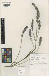 Lavandula angustifolia x latifolia = L. x intermedia herbarium specimen from Downderry Nursery, Hadlow, VC16 West Kent in 1996 by Susyn Andrews.