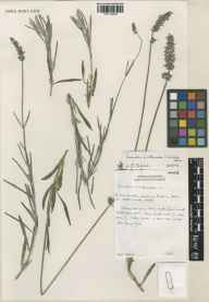 Lavandula angustifolia x latifolia = L. x intermedia herbarium specimen from Norfolk Lavender, Heacham, VC28 West Norfolk in 1996 by Noel Mellish.