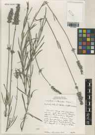 Lavandula angustifolia x latifolia = L. x intermedia herbarium specimen from Norfolk Lavender, Heacham, VC28 West Norfolk in 2000 by Brian D Schrire.