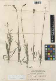 Lavandula angustifolia x latifolia = L. x intermedia herbarium specimen from Seal, VC16 West Kent in 1937.