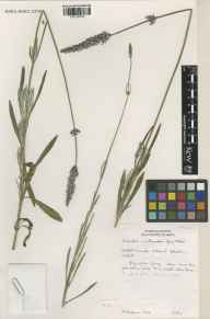 Lavandula angustifolia x latifolia = L. x intermedia herbarium specimen from Norfolk Lavender, Heacham, VC28 West Norfolk in 1993 by Susyn Andrews.
