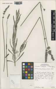 Lavandula angustifolia x latifolia = L. x intermedia herbarium specimen from Downdeery Nursery, Hadlow, VC16 West Kent in 2000 by Susyn Andrews.
